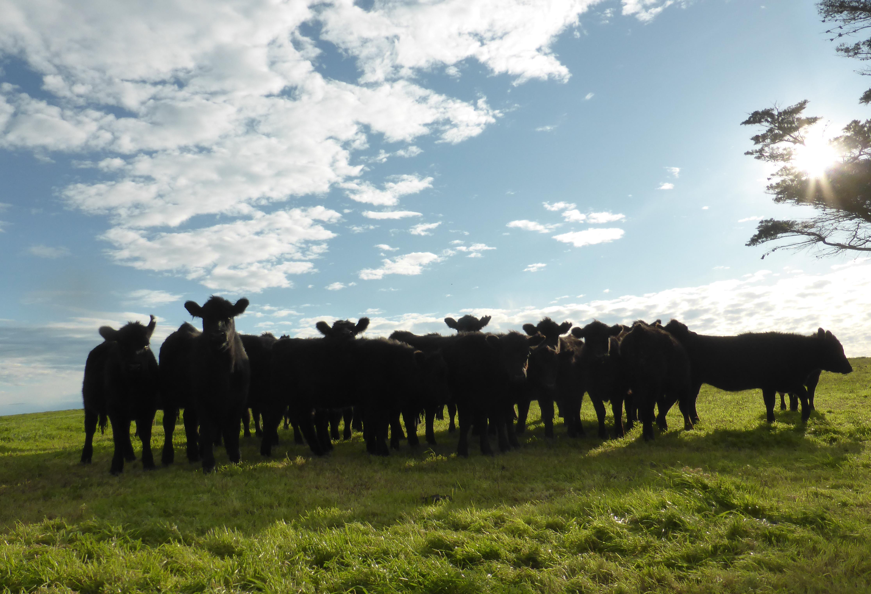 Heifers 1