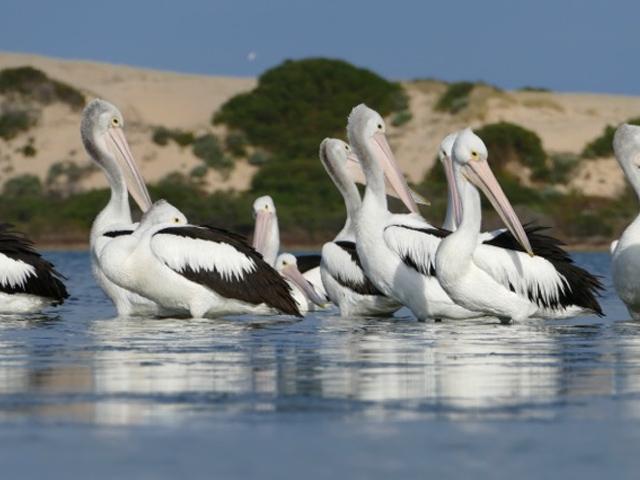 Coorong Pelicans