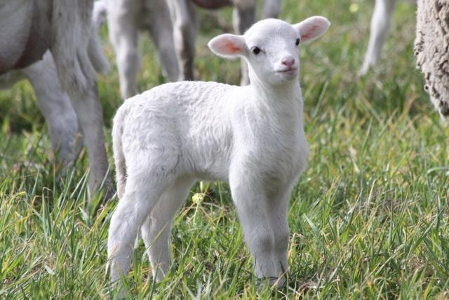 dorper-lamb