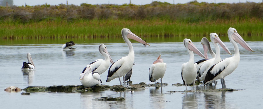 group-of-pelicans-3