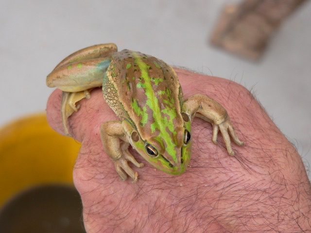 southern-bell-frog
